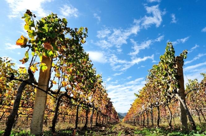 vite-vigneto-vigna-vino-viticoltura-vitivinicoltura
